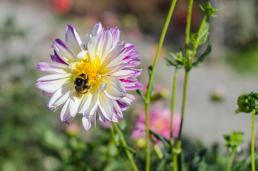 Pink flower with a bee collecting honey on a green background. Autumn Chrysanthemum.