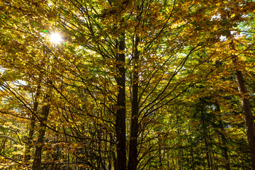 autumn in the forest, sunbeams through the branches