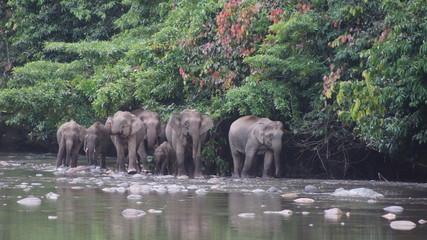 Borneo Pygmy Elephant seen in Danum Valley, Sabah