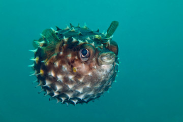 Porcupinefish.  Picture was taken in Lembeh strait, Indonesia