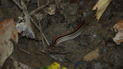 Borneo Kukri Striped Snake spotted in Danum Valley, Rainforest, Borneo
