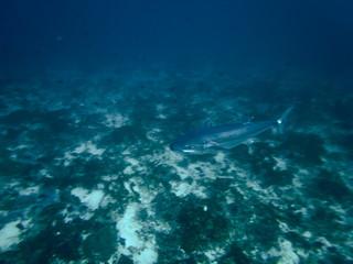 Tuna Fish in Blue Sea  in the Waters of Bunaken Island, Diving Bunaken, Indonesia.