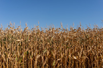 Acrylic Prints Village Dry corn field with the blue sky as background