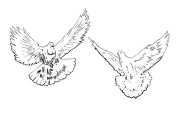 White pigeons couple fly, hand drawn doodle, sketch outline, vector illustration