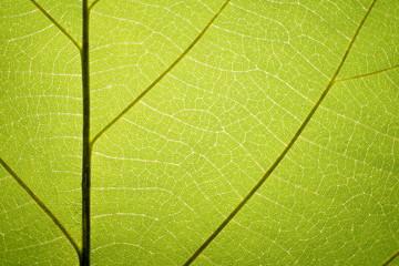 Leaf vein pattern