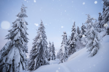 Fototapete - Winter weather with snowfall in the spruce forest