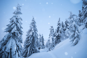 Fototapete - White Christmas with snowfall in the fir forest