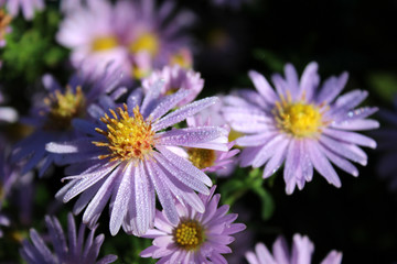 Asters with morning dew