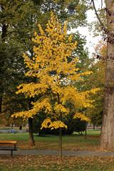 Yellow leaves tree