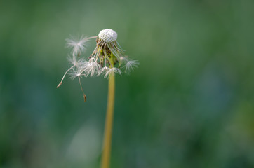 Dandelion seeds close up blowing in green background