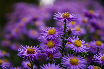 Lovely violet autumn flower with yellow and orange. Detailed shot with another flowers in background. Peaceful and relaxing.