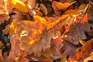 autumn oak leaves in the last rays of the sun