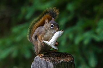 Red squirrel, Sciurus vulgaris, sitting on a tree trunk eating a nut