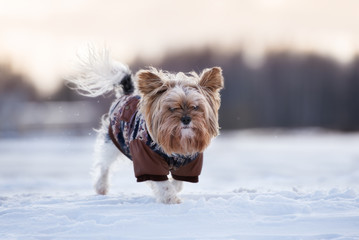 yorkshire terrier dog in winter clothes walking outdoors