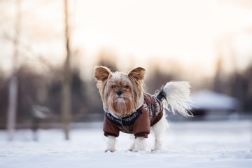 adorable yorkshire terrier dog in a winter coat outdoors