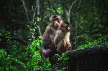 Female Southern pig-tailed macaque sitting with adolescent on a ledge in a North Sumatran jungle