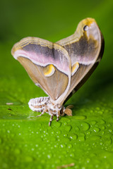 Atlas moth on a banana leaf