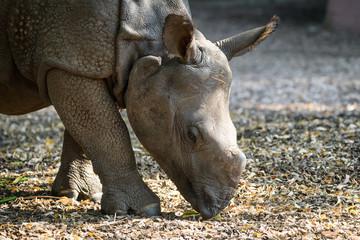 Closeup of an indian rhinoceros calf eating