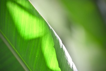 water drop on banana leaf, and close up line pattern of green on leaf, green abstract background Wall mural