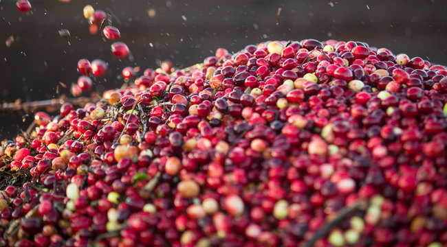Cranberries loaded into the tractor trailer