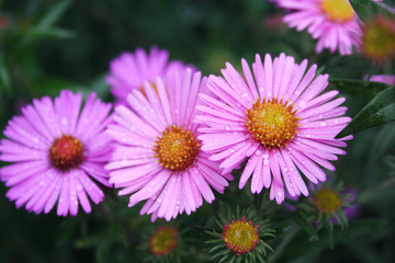 Bunch of pInk Aster Frikarti flowers covered by rain drops in the garden
