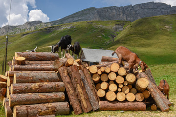 Goats standing on wooden tree trunks at Tannen on Switzerland