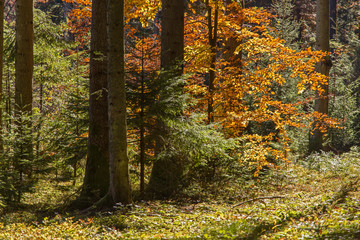 Beech tree in autumn colors among mixed forest in sunlight. mixed autumn Carpathian forest