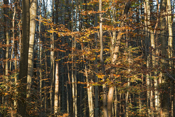 natural beech forests in Carpathians in the autumn colors of the sunny day. beech forest in the Carpathian Mountains in autumn colors