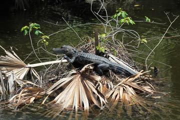 Tanning Aligator
