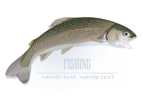 Rainbow Trout on white background.