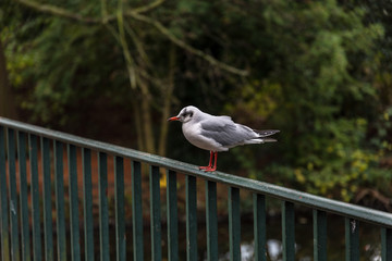 Seagull on the fence
