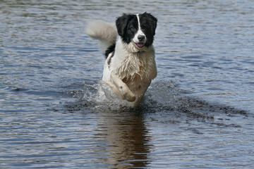 Jumping dog in the water