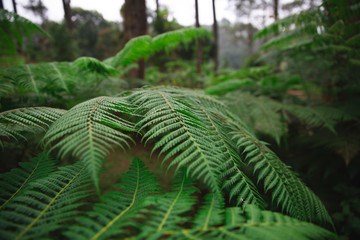 Exotic green leaves of Monkey Tail Fern in Lembang, Indonesia