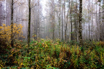 Impermeable birch forest with a lot of plants and fog