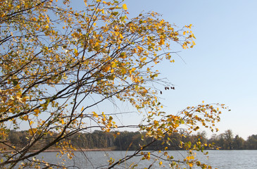 birch tree by the lake in autumn
