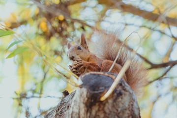 squirrel sitting on a tree with a nut in sunny autumn day