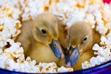 Two cute baby ducklings nestled in a bowl of popcorn