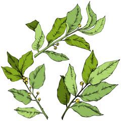 Vector green laurus leaf. Leaf plant botanical garden floral foliage. Isolated illustration element. Vector leaf for background, texture, wrapper pattern, frame or border.