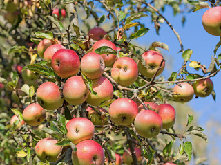 Apfelbaum mit reifen Früchten