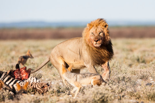 Etosha National Park, Namibia. A male lion (panthera leo) chases hungry jackals away from a zebra carcas.