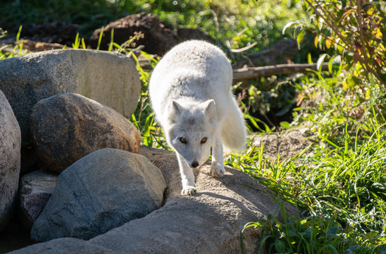 artic fox is curious and comes closer