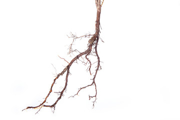 Roots of young plant isolated on white background
