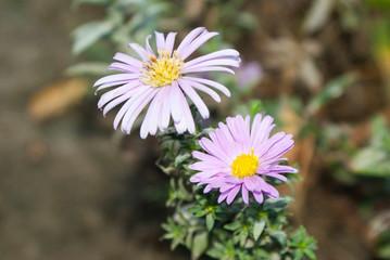 beautiful white-blue flowers