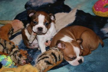 Boston Terrier puppies 7 weeks old