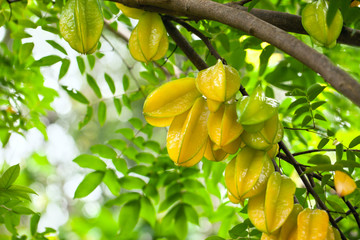 Star fruit ( carambola ) hanging on a tree