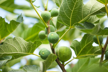 Figs hanging on a fig tree