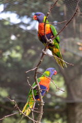 The pair of the rainbow lorikeet (Trichoglossus haematodus moluccanus) on tree inside aviary. Colorful parrots sits on a branch.