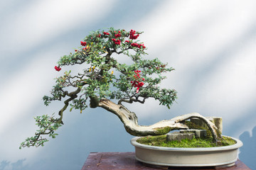 Tuinposter Bonsai Curved bonsai tree with red fruits on a table against a white wall