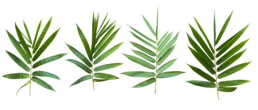 bamboo isolated on white background with clipping path.