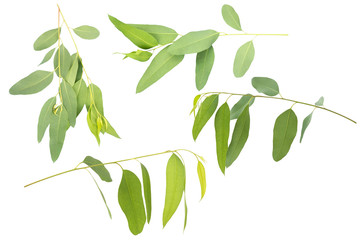eucalyptus isolated on white background with clipping path